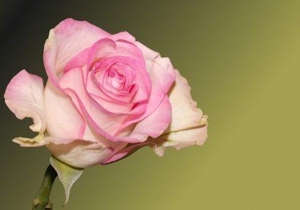 Роза — королева красоты. Как её вырастить в домашних условиях