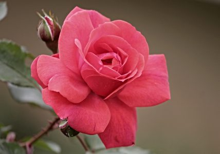 Роза — богиня красоты