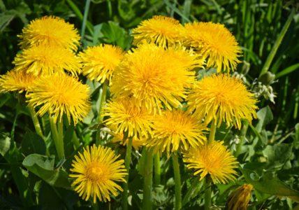Одуванчик — сорняк или полезное растение?